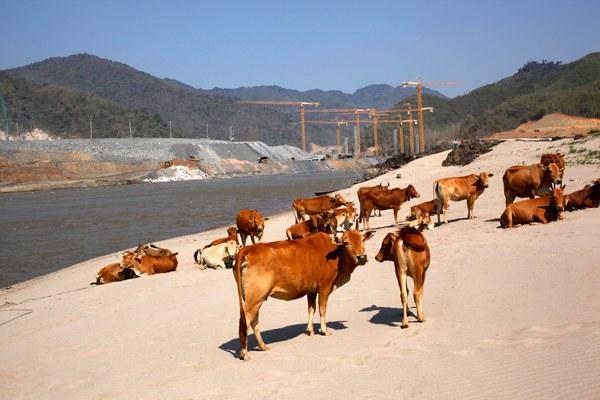 cambodia-cattle-mekong-jan22-2014.jpg