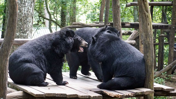 laos-asiatic-black-bears-luang-prabang-aug-2017.jpg