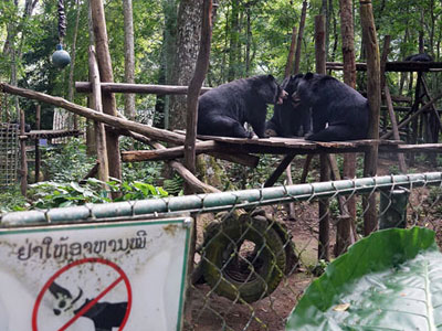 Three Asiatic black bears play at the Free the Bears Fund rescue center in Kuangxi Waterfalls Park near Luang Prabang in northern Laos, August 2017.