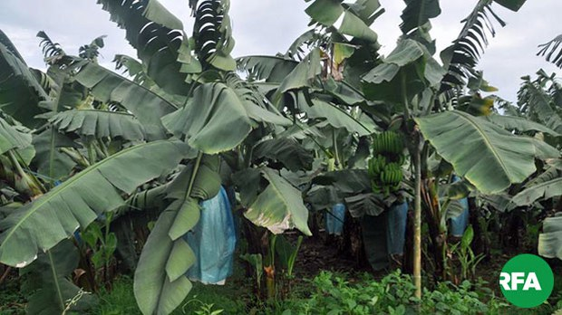 myanmar-banana-plantation-kachin-state-undated-photo.jpg