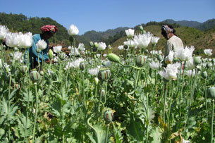 An undated handout photo from the UNODC shows opium poppies in bloom in the hills of Burma's East Shan state.