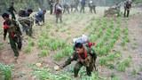 myanmar-tnla-poppy-field-mantong-township-shan-jan16-2014.jpg