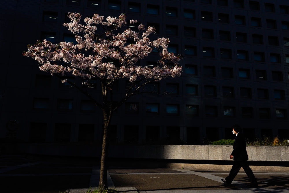 A man walks past a cherry tree Monday, April 6, 2020, in Tokyo. Reports say Prime Minister Shinzo Abe plans to declare an emergency in Tokyo and other cities Tuesday. (AP Photo/Jae C. Hong)
