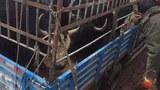 tibet-livestock-april12016.jpg