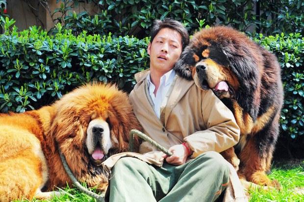 tibet-mastiffs-june-52015.jpg