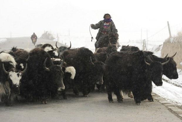 tibet-yak-herder-march-2012.jpg