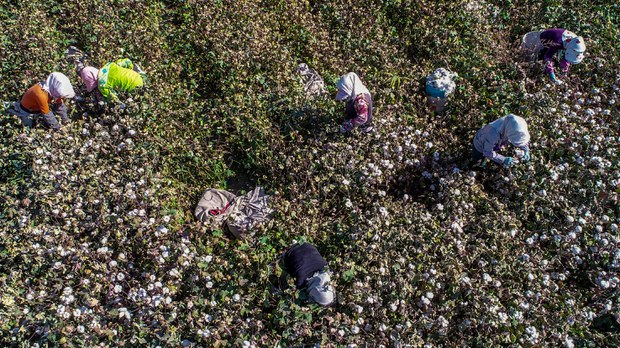 Hundreds of Thousands of Ethnic Minorities in Xinjiang Forced to Pick Cotton: Report