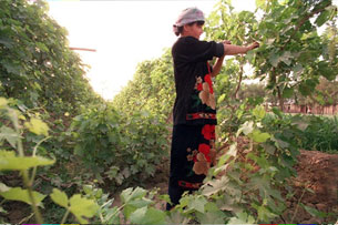 A woman works in her family's vineyard in Turfan, May 9, 1997. AFP
