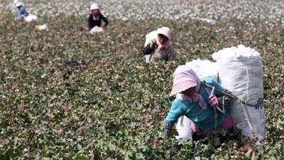 Farmers pick cotton in a field in Xinjiiang's Hami prefecture, in a file photo.
