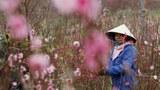 "A farmer tends peach blossom flowers for sale ahead of the Vietnamese ""Tet"" (Lunar New Year festival), in a field in Hanoi, Vietnam February 7, 2018."