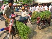 rice_for_cattle.jpg
