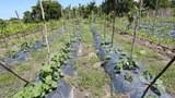 ចម្ការត្រសក់របស់ចម្ការបន្លែធម្មជាតិសរីរាង្គ (Eco Agri Farm) នៅខេត្តកោះកុង កាលពីថ្ងៃទី៣១ ខែកក្កដា ឆ្នាំ២០១៦។