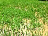 osb--rice_seedlings.jpg