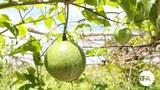 ចម្ការក្រូចទ្រើង (Passion Fruit) របស់ចម្ការបន្លែធម្មជាតិសរីរាង្គ (Eco Agri Farm) នៅខេត្តកោះកុង កាលពីថ្ងៃទី៣១ ខែកក្កដា ឆ្នាំ២០១៦។