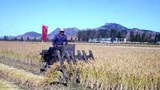 rice_harvest_b