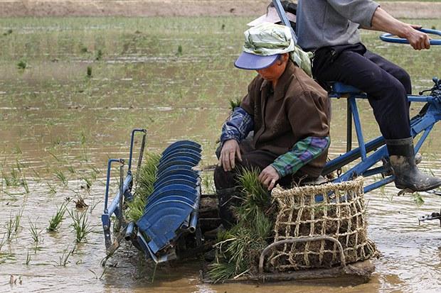Rice_transplanting_b