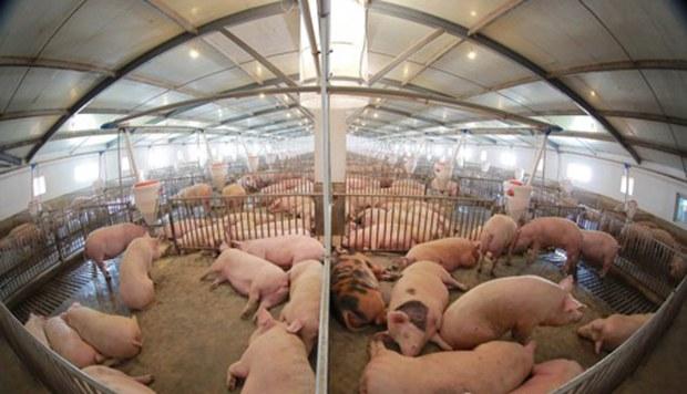 pig_farm_b