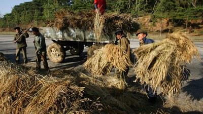 평양 근교에서 가을걷이를 하는 북한 농부들.