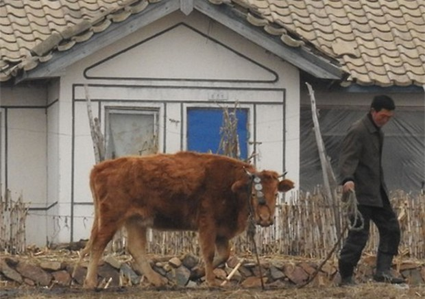 cow_farmer-620.jpg