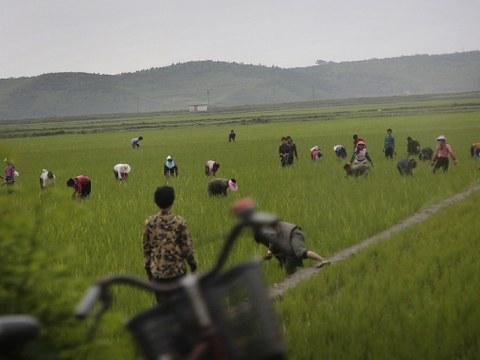 북한 강원도의 논에서 벼농사를 짓는 주민들.