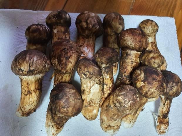 강원도 태백에서 채취한 송이버섯.