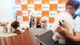 '강아지 슈퍼모델 선발대회'에서 강아지들이 선발대회를 위해 미용을 하고 있다.