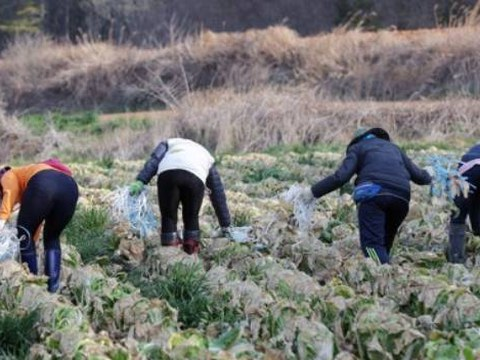 전남 해남군 해남읍 용정리 한 배추밭에서 일용직 노동자들이 산지폐기를 위해 배추에 묶어놓았던 끈을 제거하고 있다.