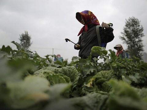 북한 여성들이 채소에 농약을 뿌리고 있다.