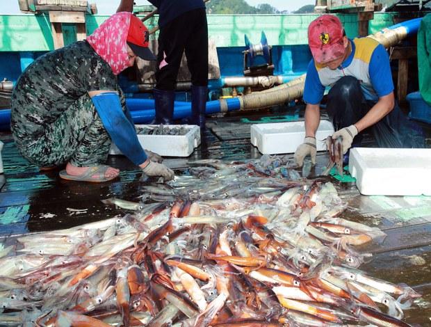 한반도 수역 오징어 대풍인데 북한은 한숨