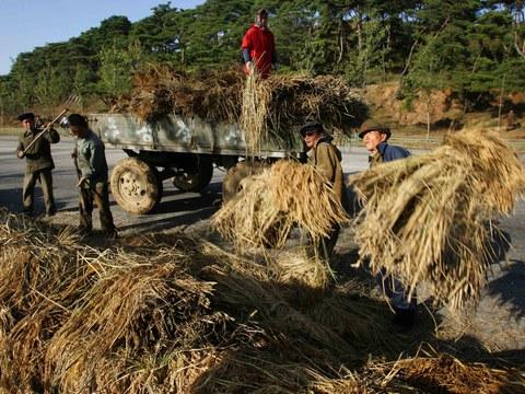 북한 농부들이 평양 근교 논에서 벼를 수확하고 있다.