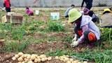 마을텃밭에서 감자를 수확하는 주민들