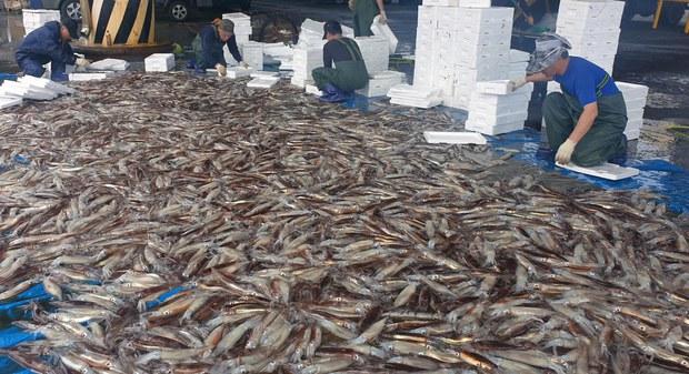 오징어, 이름부터 달라 북한에선 낙지