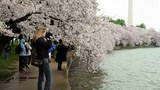 cherry_blossoms_305