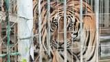 F-King-tiger