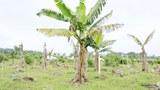 f-banana-tree