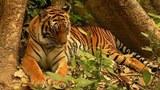 F-tiger.jpg