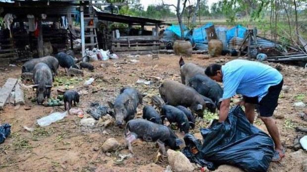 f-swine-pigs