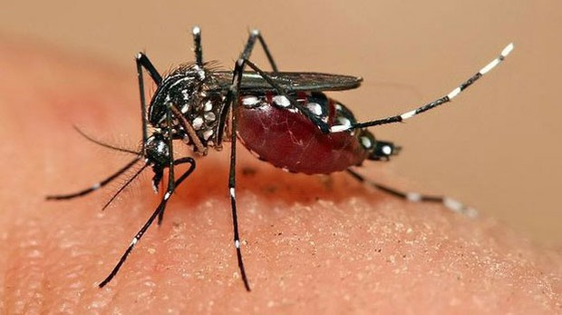 f-mosquito