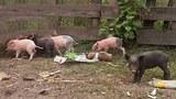 f-pigs