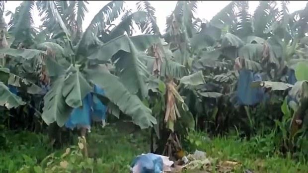 F-Chinese-banana-Kachin