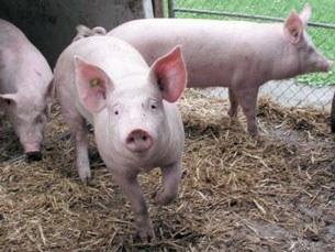 F-Pig3