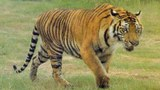 F-Tiger