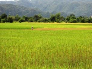 F-rice-field