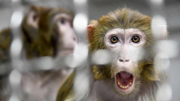 中国首现人类感染猴B病毒 北京兽医解剖死猴后染毒身亡
