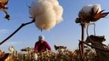 新疆農民在採摘棉花。