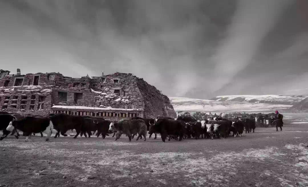 牦牛亦转经,在松格玛尼石经城。(潘宇峰摄影)