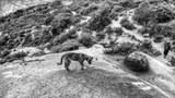 图说:色拉寺后山的狗。拍摄于2018年8月,唯色摄影。