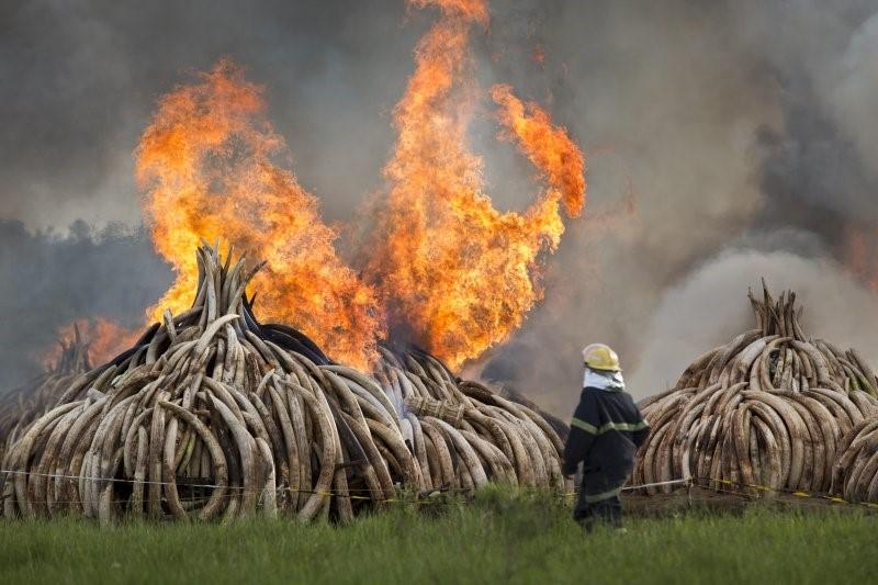 肯尼亞焚毁多达105吨的象牙,向全世界宣示反盗猎的決心。(美联社)