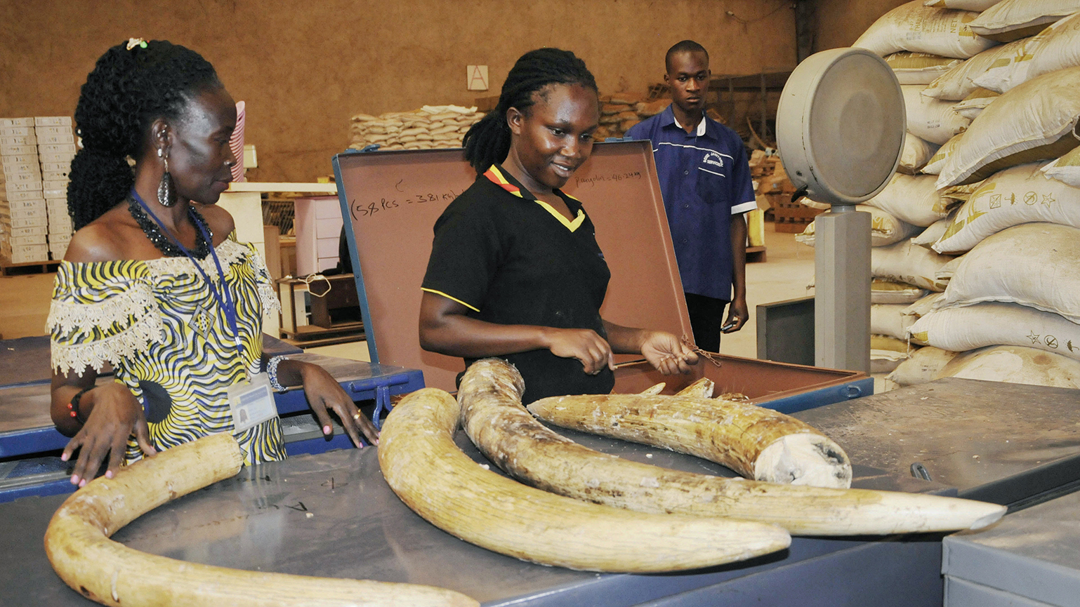 乌干达当局缴获的象牙。(美联社)