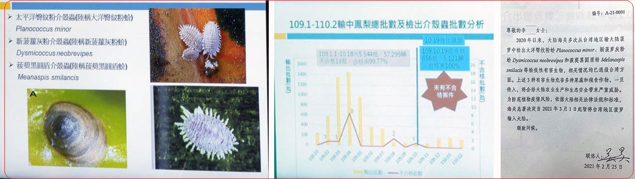 左图:中国大陆称台湾凤梨检出三种介壳虫(如图)。(记者李宗翰摄)  中图:台湾农委会指台湾凤梨进口中国去年合格率九成九以上,近四个月合格率百分之百。(记者李宗翰摄)  右图:中国海关总署26日公告自3月1日起暂停进口台湾的凤梨。(农委会提供)